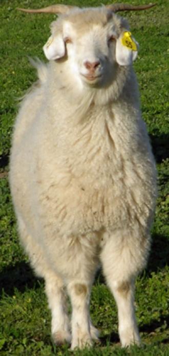 Australian Cashmere goat - Australian Cashmere goat