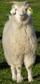 Australian cashmere goat.png