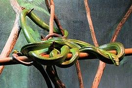 Australian tree snake, Dendrelaphis punctulatus.jpg
