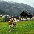 Austrian Cow (38989345894).jpg