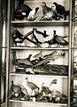Az Érseki Főgimnázium állattani gyűjteménye. Fortepan 100187.jpg