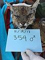B-354 (Mangy Bobcat) (25877374148).jpg