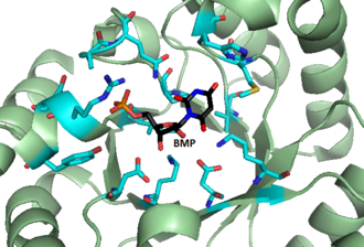 Orotidine 5'-phosphate decarboxylase - Image: BMP Bound to the Active Site of OMP Carboxylase from M thermoautotrophicum