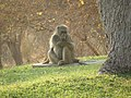 Baboons on the lawn - panoramio (5).jpg