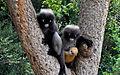 Baby of dusky leaf monkey, spectacled langur, or spectacled leaf monkey.jpg
