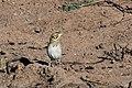 Baird's Sparrow Curly Horse Ranch Rd Sonoita AZ 2018-01-26 10-07-41 (39038408555).jpg