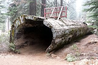 Hollow Log (Balch Park) Historic deceased giant sequoia