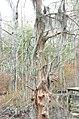 Bald Cypress Trail First Landing State Park-spanish moss (32364274564).jpg