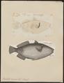 Balistes cinereus - 1700-1880 - Print - Iconographia Zoologica - Special Collections University of Amsterdam - UBA01 IZ15400103.tif