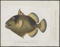 Balistes viridescens - 1700-1880 - Print - Iconographia Zoologica - Special Collections University of Amsterdam - UBA01 IZ15400065.tif