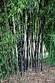 Bamboo grove in Nuthurst village, West Sussex, England 01.jpg