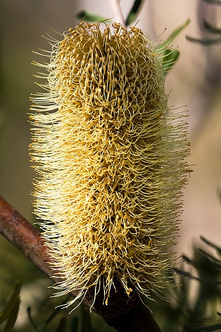 Inflorescence part-way through anthesis, with the individual flowers at the base opened and those further up the spike still closed Banksia marginata.jpg