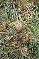 Banksia nivea kz01.jpg