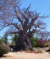 Baobab old nyanga.jpg