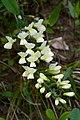 Baptisia bracteata var. leucophaea.jpg