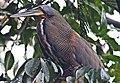 Bare-throated Tiger-Heron-1 - Flickr - Ragnhild & Neil Crawford.jpg