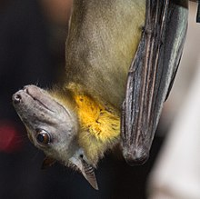 A bat with large eyes and a dog-like face in profile. Its fur is a tawny yellow, while the side of its neck is bright yellow.