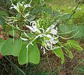Bauhinia divaricata (25002794555).jpg