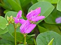 Bay Bean (Canavalia rosea) flowers (15811127456).jpg