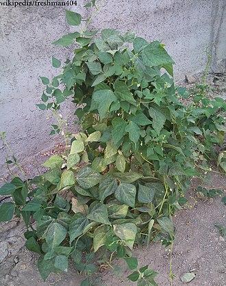 Bean - Bean plant