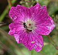 Bee sp. Lasioglossum - Flickr - S. Rae.jpg
