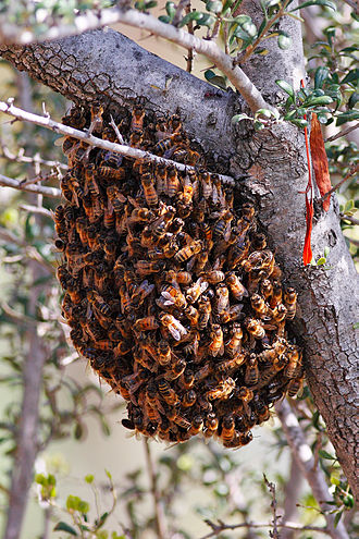 Swarm behaviour - Bees swarming on a shrub
