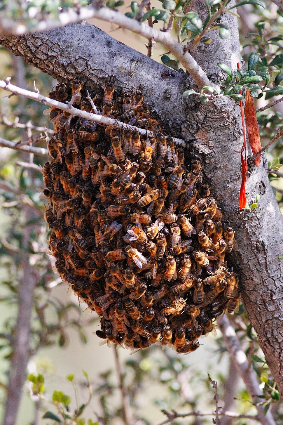 Bee swarm feb08