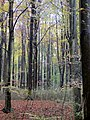 Beech trees - Nov 2012 - panoramio.jpg