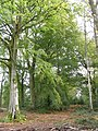 Beech trees in the Churchplace Inclosure, New Forest - geograph.org.uk - 68730.jpg