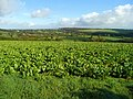 Beet crop at Laneast - geograph.org.uk - 1083775.jpg
