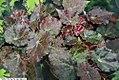 Begonia Red Planet 1zz.jpg