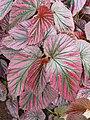 Begonia brevirimosa.jpg