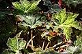 Begonia masoniana 1zz.jpg