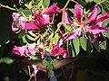 Beija-flor-tesoura - Eupetonema macroura - Trochilidae - se alimentando nas flores de pata-de-vaca-rosa - Bauhinia blakeana 04.jpg