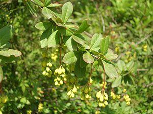 Berberis - Image: Berberis Aculeata