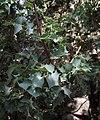 Berberis higginsiae.jpg
