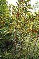 Berberitze Früchte.jpg