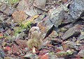 Berguv Eurasian Eagle Owl (20357420851).jpg