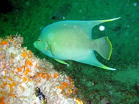 Bermuda blue angelfish.jpg