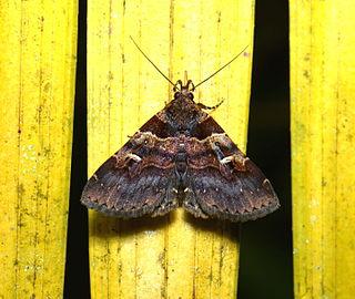 <i>Bertula</i> genus of insects