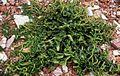 Beta vulgaris subsp maritima 89-08.JPG
