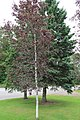 Betula pubescens f rubra 2.jpg