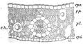 Biétrix - Le Thé - Fig. 17.png