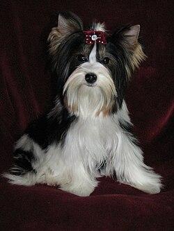 Biewer Terrier Biewer La Pom Pon Biewer Yorkie Biewer | Dog Breeds ...