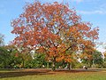 Big golden tree in Greenwich park.jpg