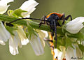 Big orange and black insect -a.jpg