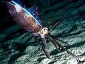 Bigfin Reef squid (Sepioteuthis lessoniana) (25377305097).jpg