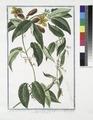 Bigonia Americana, bifolia, scandens, flore e luteo purpurascente, inodoro, fructu ovato, duro (NYPL b14444147-1125115).tiff
