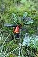 Bikkia macrophylla (scott.zona).jpg