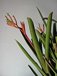 Billbergia amoena.jpg